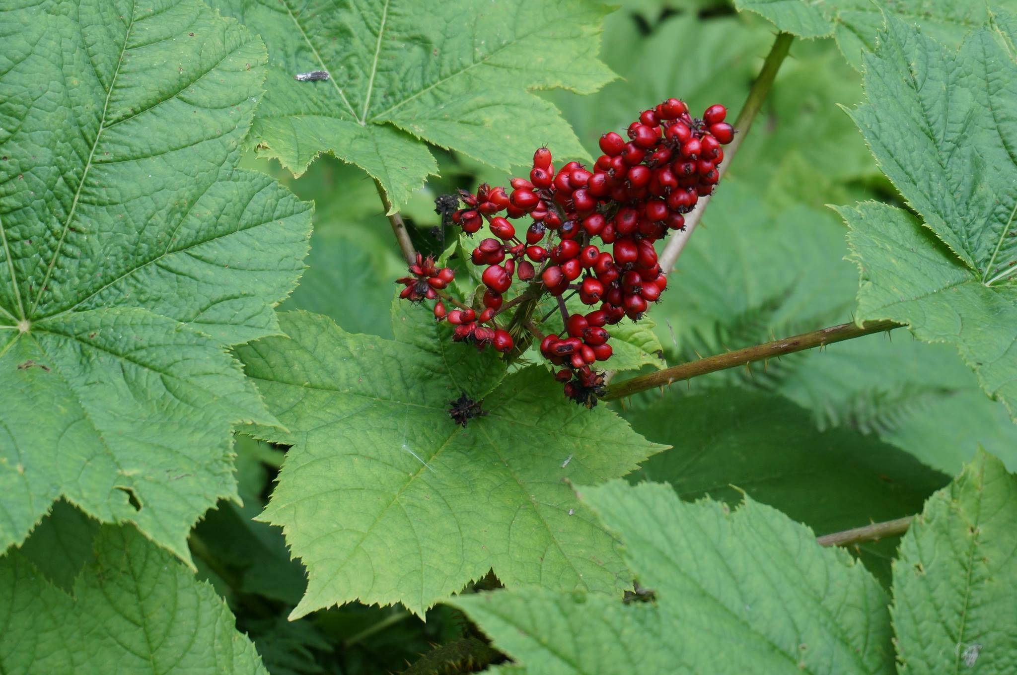 OpHorberries